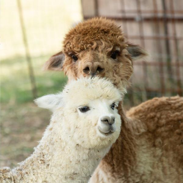 quadratino-alpaca